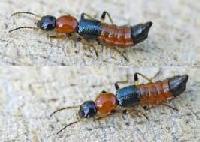 Dịch vụ diệt kiến ba khoang