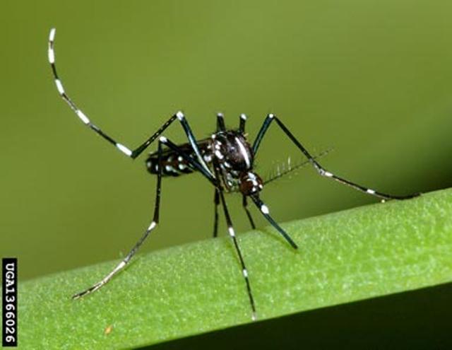Muỗi anophen